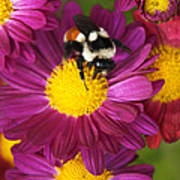 Red-tailed Bumble Bee Poster