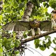 Red-tailed Fledges Poster