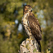 Red Tailed Hawk 1 Poster by Roger Snyder