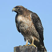 Red-tailed Hawk Monterey California  2008 Poster
