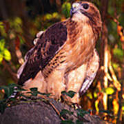 Red Tailed Hawk - 53 Poster