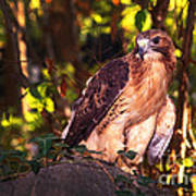Red Tailed Hawk - 54 Poster
