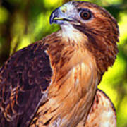 Red Tailed Hawk - 66 Poster