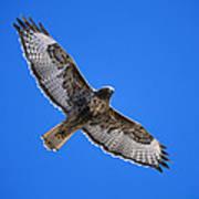 Red-tailed Hawk Arizona Poster