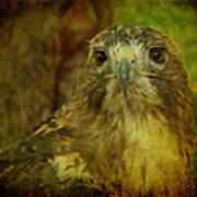 Red-tailed Hawk II Poster