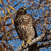 Red-tailed Hawk In A Willow Tree Poster
