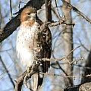 Red-tailed Hawk Looking Poster