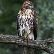 Red-tailed Hawk On Oak Poster