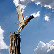 Red-tailed Hawk Perch Series 5 Poster
