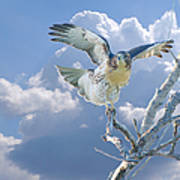 Red-tailed Hawk Pirouette Pose Poster