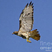 Red-tailed Hawk Takeoff Poster