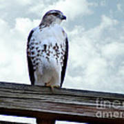 Red Tailed Hawk Waiting Poster