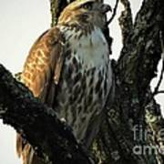 Red Tailed Morning Poster