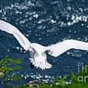 Red Tailed Tropic Bird Poster