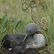 Red-throated Loon With Chick On Nest Poster