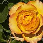 Red-tipped Yellow-orange Rose Poster