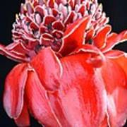 Red Torch Ginger On Black Poster