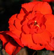 Red Tuberous Begonia Flower Poster