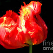 Red Tulip Blurred Poster by M C Sturman