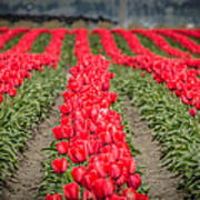 Red Tulip Hills Poster