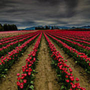 Red Tulip Rows Poster