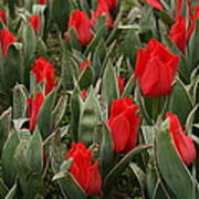 Red Tulips II Poster by Maeve O Connell