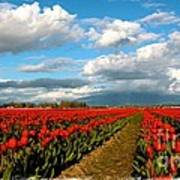 Red Tulips Of Skagit Valley Poster
