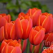 Red Tulips Outlined In Yellow Poster