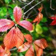 Red Viginia Creeper And Maple Leaves Poster
