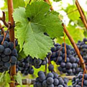 Red Wine Vineyard 3 Poster