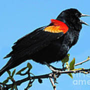Red Wing Blackbird 2 Poster