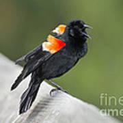 Red-winged Blackbird Display Poster
