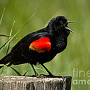 Red-winged Blackbird Singing Poster