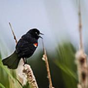 Red Winged Blackbird Singing Poster