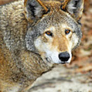 Red Wolf Portrait Poster