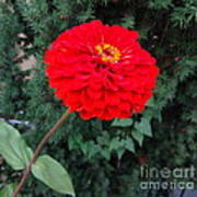 Red Zinnia 2 Poster