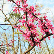 Redbud Buds Poster by Debbie Sikes