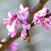 Redbud Pollinator Poster