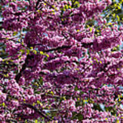 Redbud Tree In Blossom Poster