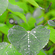 Redbud Water Droplets Poster