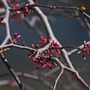 Redbuds Ready To Pop Poster