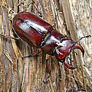 Reddish-brown Stag Beetle - Lucanus Capreolus Poster
