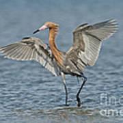 Reddish Egret Fishing Poster