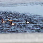 Redhead And Scaups Ducks Poster
