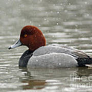 Redhead Duck In A Winter Snow Storm Poster
