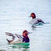 Redhead Ducks Poster