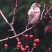 Redpoll On Crabapple Tree Poster