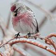 Redpoll Shy Pose Poster