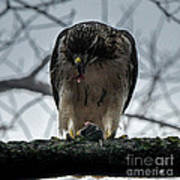 Redtail Hawk And Mouse Poster