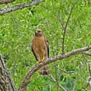 Red-shouldered Hawk Poster